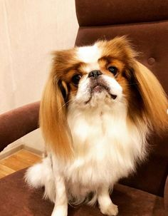 For centuries Japanese Chin was a Royal favorite dog in Japan. But nowadays dogs of this breed are very popular as a home pet. Here is the list that will help you to see the true temperament of Chin. Japanese Chin, Cute Cats And Dogs, Dog Cat, Funny Pictures, Doggies, Animals, Dogs, Fanny Pics, Little Puppies