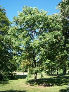 The Japanese Zelkova is a large shade tree maturing at about 60' tall by 60' wide .