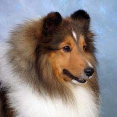 A Shetland Sheepdog to go with my Shetland Sheep!  Now all I need is a Shetland pony!