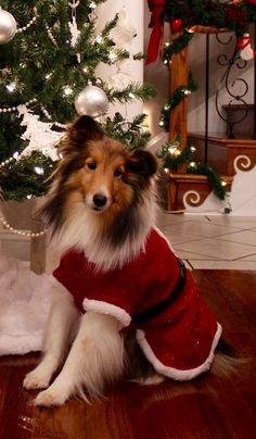 Christmas Sheltie ❤️ Bear Needs This! Christmas Puppy, Noel Christmas, Christmas Animals, Christmas Cats, Christmas Themes, Rough Collie, Collie Dog, Cute Puppies, Dogs And Puppies
