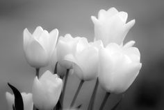 ...tulipanes blancos...