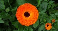 Landscaping is only about looks! You can use it for your health when you design a healing garden. Read here about what to plant in a healing garden! Calendula, Growing Herbs, Orange Flowers, Organic Gardening, Gardening Tips, How To Stay Healthy, Outdoor Gardens, Herbalism, Medicinal Herbs