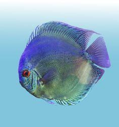 Reflection D Cross Discus Discus Tank, Discus Fish, Freshwater Aquarium, Aquarium Fish, Guppy, Cichlids, Fish Art, Dogs Of The World, Tropical Fish