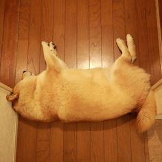 Good night!!パパがね、「誰だ?お稲荷さんを廊下に置いとくのは!」ってしょうもない意地悪言うんだよ(´・_・`) #柴犬ダム