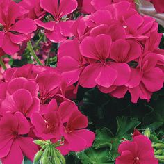 """TIMELESS™ COLLECTION (Pelargonium): New 2014 geranium collection from Proven Winners.  Timeless™ will fill your containers with large blooms and vibrant colors including rose, deep red, lavender, orange, pink.  The foliage has a ivy cascading habit and grows 12-18"""" (slightly taller than other geraniums) and spreads 18-24"""". Heat tolerant. http://emfl.us/D-Gd"""