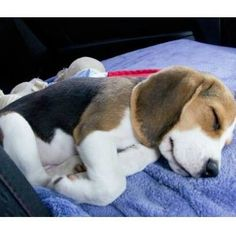 On the Snuggleworthy Scale of 1-10 what would you give this Beagle cutie? #Beagle