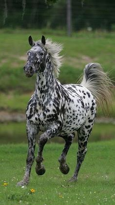 Appaloosa horse running toward you Caballos Appaloosa, Appaloosa Horses, Breyer Horses, Most Beautiful Horses, All The Pretty Horses, Rare Horses, Wild Horses, Beautiful Creatures, Animals Beautiful