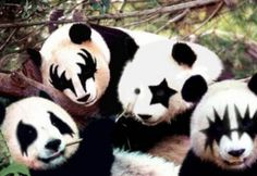 There are some strange and unusual animals, unlike the Kiss wanna be panda group they are real. Many of these endangered species are not only weird but fascinating. A mad mad world indeed with many shocking and amazing animals to see- while others. Amazing Animals, Unusual Animals, Photo Panda, Kiss Merchandise, Funny Animals, Cute Animals, Colorful Animals, Baby Animals, Panda Love