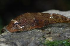 Clingfish are fishes in the family of Gobiesocidae.  Found in the warm, shallow waters of the Atlantic, Pacific and Indian Oceans