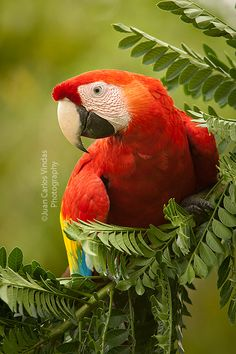 Scarlet Macaw - loved seeing these flying wild in Costa Rica.