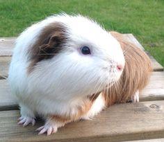 Aaaaaawwwwwwww, I want that guinea pig.
