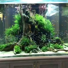 A beautiful schooling fish in tanks Beautiful freshwater aquarium.😃 Visit our site : www. Planted Aquarium, Aquarium Aquascape, Aquarium Terrarium, Aquarium Landscape, Aquarium Design, Aquarium Setup, Home Aquarium, Nature Aquarium, Driftwood For Aquarium