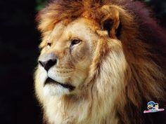 Lions 1024x768 Wallpaper # 30
