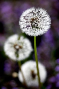 Dandylions....(The one we all LOVE....gracing our lawns... but be a child again and blow on it...and watch how they fly....;-)