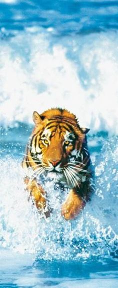 Here he comes! Awesome animal photography #tiger running in water