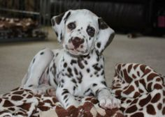 dalmatians six weeks old | GRCH CH Dalmino's Devil May Care x CH Cimarron Summit Baby Im Amazed