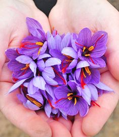 Do you know where saffron comes from?   This exotic spice is a native of Southern Europe and today cultivated worldwide in many countries, particularly in Spain, Italy, France, Greece, Turkey, Iran, and in the Indian state of Jammu and Kashmir. #exoticflowersfrance