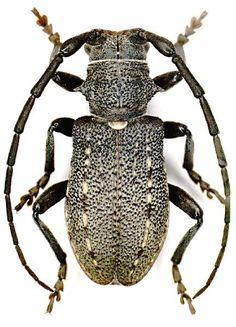 Morimonella bednariki Podany, female