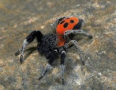 Ladybird Spider (Eresus cinnaberinus): This rare and beautiful British spider is being brought back from the brink of extinction.
