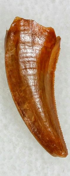 This is an authentic raptor tooth from the Late Cretaceous Kem Kem Beds (formerly Tegana Formation) of Morocco. These small theropod dinosaurs from the Tegana Formation have yet to be described, primarily due to lack of articulated bone material having been found. Because of this it's impossible to accurately give a species or even genus ID to these teeth. These teeth are most commonly attributed to a type of Dromaeosaur though it's more likely they from some type of Abelisauridae