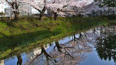 岩手県庁前 亀ヶ池の桜 2015年