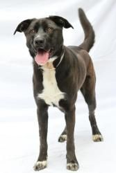 Sydney - 18949143 is an adoptable Labrador Retriever Dog in Greensboro, NC. � Sydney is a 1 year, 1 month old lab mix. She likes spending time with people, running around outdoors. Sydney is spayed an...