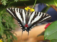 zebra swallowtail butterfly - Google Search