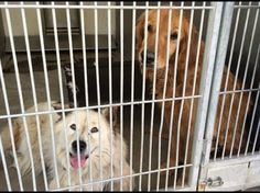Although terribly neglected, this golden retriever at shelter is all gentle love