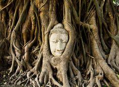 """Le figuier des banians de Wat Mahathat, en Thaïlande ==> Découvrez """"10 arbres qui invitent au voyage"""" : http://www.geo.fr/photos/reportages-geo/arbres-extraordinaires-qui-invitent-au-voyage-156393"""