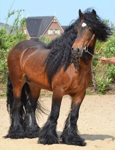 """ Irish Cob Stallion Passion for beautiful Horses. Big Horses, Work Horses, Horses And Dogs, Horse Love, All The Pretty Horses, Beautiful Horses, Animals Beautiful, Gypsy Horse, Majestic Horse"