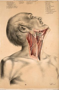 Deep dissection of the neck to show the muscles, jugular vein, parotid gland, submandibular gland and lymph nodes. By George Henry Ford from 'Illustrations of Dissections' by George Viner Ellis, 1867. ~~ www.facebook.com/TheIrregularAnatomist ~~ www.twitter.com/Irr_Anatomist
