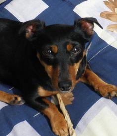 Onze hond Flower kwam vijf jaar geleden als een kleine vertederende puppy van net twee maanden in ons gezin. Het was niet moeilijk om van haar te houden. Haar enthousiasme en eigengereidheid werken aanstekelijk. Ze is altijd een en al blijdschap als één van ons weer thuiskomt. Nooit zal ze mopperen over het tijdstip. Lees verder: https://alexanderveerman.wordpress.com/2014/09/10/een-echte-held/