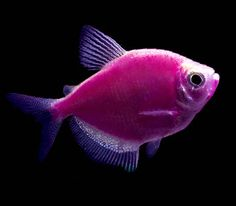 "Premium Galactic Purple GloFish Tetra, 1"" to 1.5"" long"