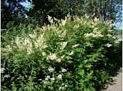 Viitapihlaja-angervo - Sorbaria sorbifolia - rönnspirea Plants, Plant, Planets
