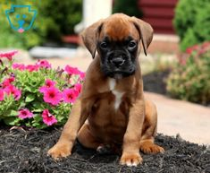 Chaz | Boxer Puppy For Sale | Keystone Puppies