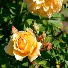 Rosa | Fine Gardening