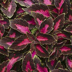 If the budget is tight this Mother's Day, think about giving Mom a Coleus HousePlant, non-poisonous and easy. Care tips: http://www.houseplant411.com/houseplant/coleus-how-to-grow-care-tips