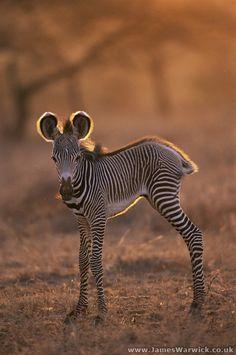 Mai visto un cucciolo di zebra? Ecco un mondo di tenerezza #Kenya #magicalkenya Samburu National Reserve, Kenya | ©James Warwick