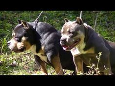 American Bully Exotic Buly Micro Bully Daxline Xtreme Bully Pax Petclube...