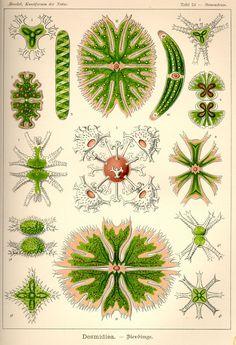 Desmidiea by Ernst Haeckel;  Kunstformen der Natur, 1900