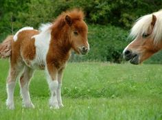 Shetland ponies, looks like momma is trying to tell baby horse something.