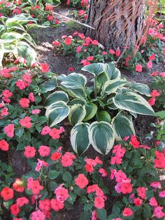 Shade gardening/Love the variegated plant against the colorful impatiens.