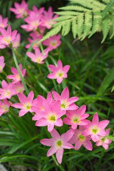 Hedge and Associated Border Plants Cosmos Flowers, Exotic Flowers, Amazing Flowers, Pink Flowers, Beautiful Flowers, Lush Garden, Tropical Garden, Tropical Plants, Plant Design