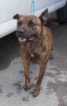 GORDO (A1446204) I am a neutered male brown brindle American Bulldog.  The shelter staff think I am about 3 years old and I weigh 63 pounds.  I was confiscated and I may be available for adoption on 01/18/2015. — Miami Dade County Animal Services. https://www.facebook.com/urgentdogsofmiami/photos/pb.191859757515102.-2207520000.1421023188./908394009195003/?type=3&theater