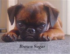 Brown Sugar, the Petit Brabancon at 11 months old looks exactly like my lil Bella!! soo cute such a loving breed of dog