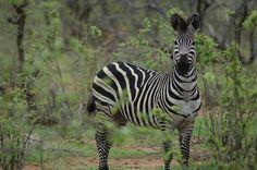 Plains zebra - under threat of extinction