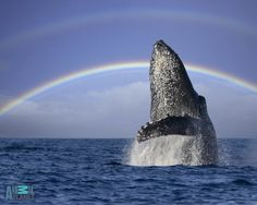 A Humpback Whale breaches off the coast of Maui in front of a double rainbow. Description from thelastcontinent.wordpress.com. I searched for this on bing.com/images