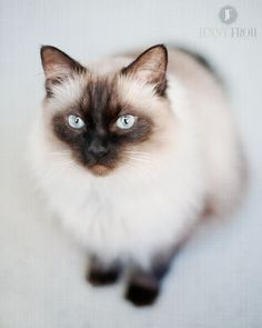 Seal Point Ragdoll Cat opawz.com  supply pet hair dye,pet hair chalk,pet perfume,pet shampoo,spa....
