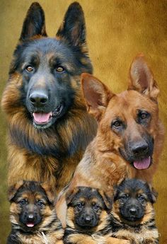 Family portrait of German Shepherd Dogs 'Famiglia' Big Dogs, I Love Dogs, Cute Dogs, Dogs And Puppies, Doggies, Beautiful Dogs, Animals Beautiful, Beautiful Family, German Shepherd Puppies