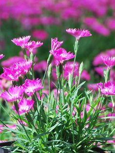 Dianthus Kahori